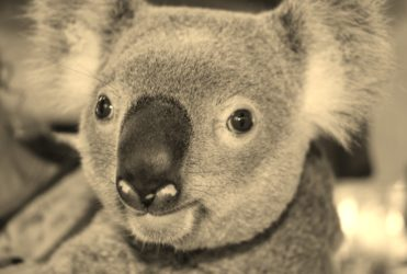 Jack le koala rédempteur