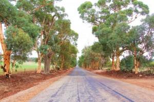 Le charme des eucalyptus: nous roulons le nez au vent !
