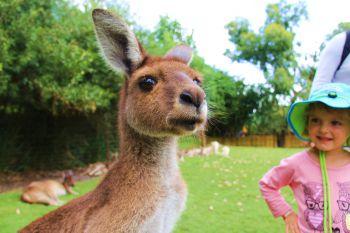 kangourous4