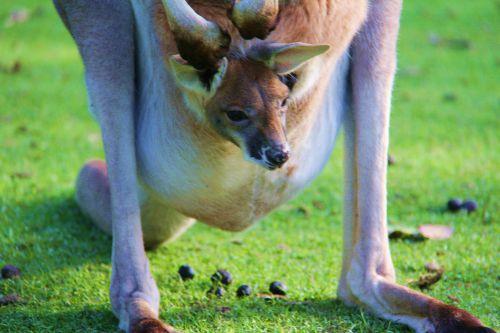 kangourous8