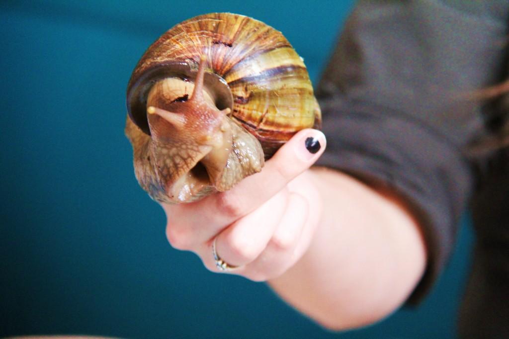 Qui a déjà vu un escargot géant d'Afrique ?