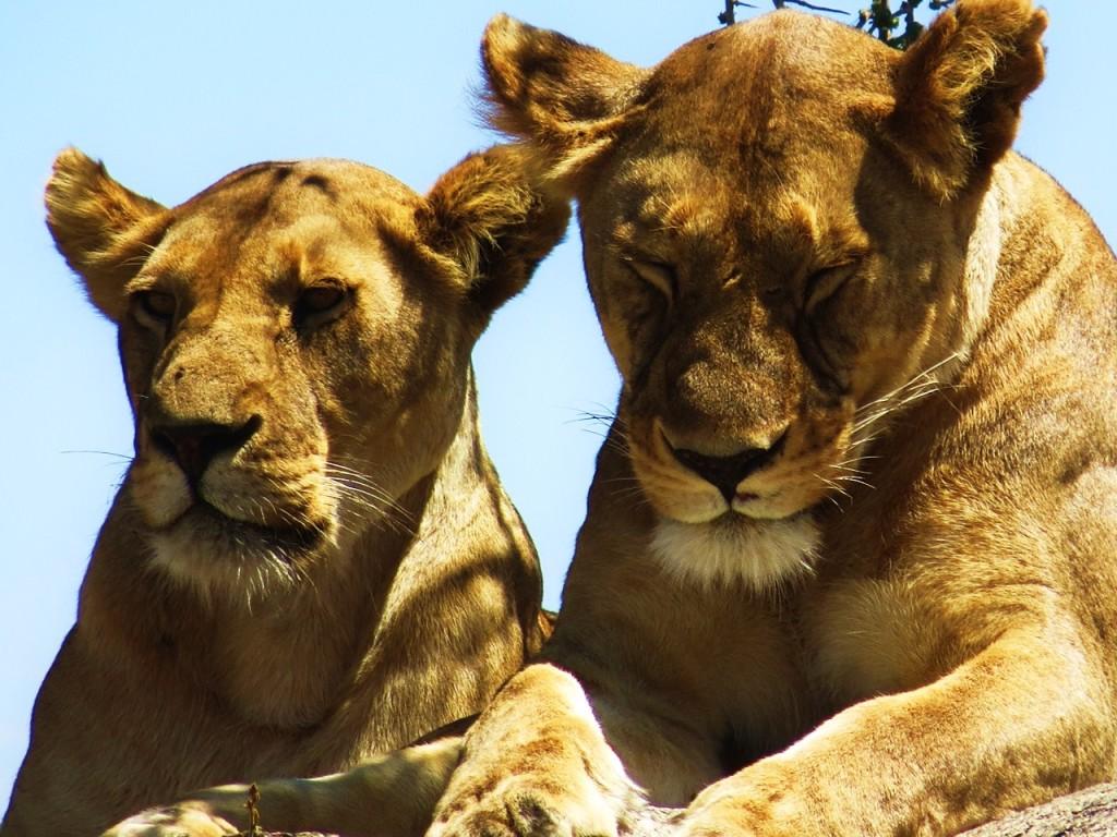Oh! la royauté de la jungle! On va en voir de proche des félins! Photo prise par Club Aventure le 1 novembre 2015.
